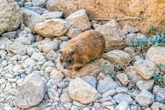 Rots Hyrax, capensis Procavia Royalty-vrije Stock Afbeeldingen