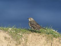 Rots pipit, Anthus-petrosus Stock Afbeelding