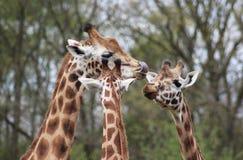 Rotschild giraffe group Royalty Free Stock Photos