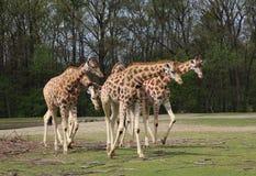 Rotschild giraffe group Stock Photography