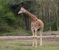Rotschild giraffe potrait Royalty Free Stock Image