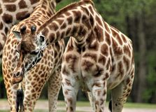 Rotschild giraffe Royalty Free Stock Image