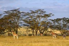 Rotschild giraffes, Lake Nakuru National Park, Kenya Stock Photo