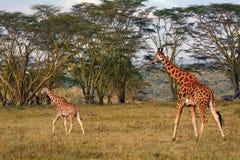 Rotschild giraffes, Lake Nakuru National Park, Kenya Stock Photos