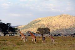 Rotschild giraffes, Lake Nakuru National Park, Kenya Royalty Free Stock Photos
