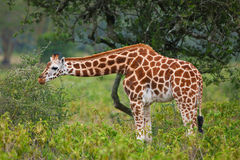 Rotschild's giraffe Royalty Free Stock Images