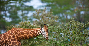 Rotschild's giraffe Royalty Free Stock Photos