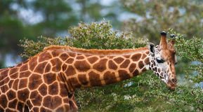 Rotschild's giraffe Royalty Free Stock Photography