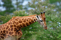 Rotschild's giraffe Stock Photography