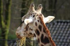 Rotschild S giraffe eating Stock Photography