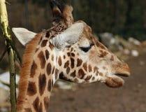 Rotschild S giraffe head stock photography