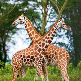 Rotschild's giraffes Royalty Free Stock Photos