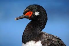 Rotspluizig laken, Phalacrocorax-magellanicus, zwart-witte aalscholver, detailportret, Falkland Islands Stock Foto