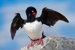 Rotspluizig laken, Phalacrocorax-magellanicus, zwart-witte aalscholver met rode rekening die op de steen, Falkland Islands situer stock fotografie