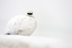 Rotsptarmigan Royalty-vrije Stock Foto