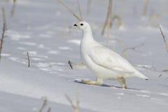 Rotsptarmigan wijfje die de sneeuw op de zonnige winter doornemen stock afbeeldingen