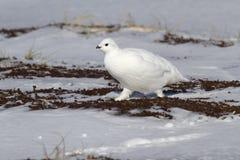 Rotsptarmigan wijfje die langs kleine snow-covered spri lopen royalty-vrije stock foto
