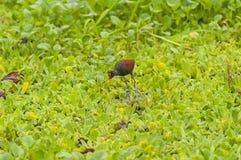 Rotstirn-Blatthühnchen, das nach Nahrung auf einem Sumpf sucht Lizenzfreie Stockfotos