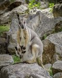 Rotswallaby royalty-vrije stock foto