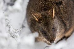 Rotswallaby bij het nationale park van de Wiegberg in de sneeuw, Tasma stock foto's