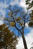 A rotta di collo consideri le corone dell'albero con cielo blu e le nuvole su fondo Fotografia Stock Libera da Diritti