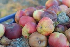 Rotte appelen Stock Foto's