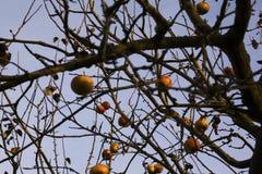 Rotte appelen in een boom Royalty-vrije Stock Fotografie