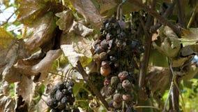 Rotte beschimmelde druiven stock video
