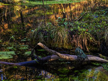Rotte boomtakken in een moeras Royalty-vrije Stock Fotografie