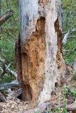 Rotte dode houten boom in bos Stock Afbeeldingen