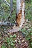 Rotte dode houten boom in bos Stock Foto