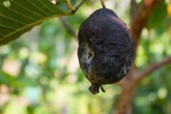 Rotte guave op de guaveboom Stock Foto's