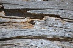 Rotte houten textuur van een oude dode boom Stock Foto
