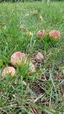 Rotte perziken Stock Afbeeldingen