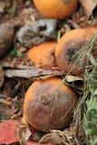 Rotte sinaasappelen Stock Foto