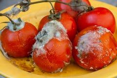 Rotte tomaten op wijnstok Royalty-vrije Stock Afbeelding