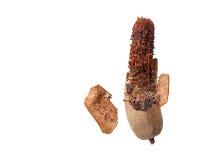 Rotte zoete tamarinde die op witte achtergrond wordt geïsoleerd Stock Afbeeldingen