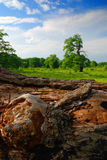 Rotted Tree. Close up of rotted wood tree in a grassy field in Breite National Park, Romania Royalty Free Stock Image