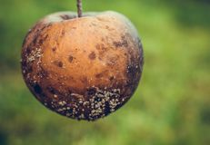 Rotten Apple in the field. In autumn Royalty Free Stock Image