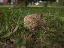 Rotten apple. On grass, autumn is coming Stock Image