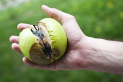Rotten apple green with mold in a human hand Royalty Free Stock Images