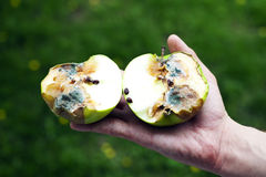 Rotten apple green with mold in a human hand Stock Photos