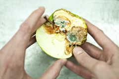 Rotten apple green with mold in a human hands Royalty Free Stock Photography