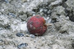 Rotten apple. On the ground Royalty Free Stock Photo