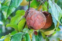 Rotten apple hanging on apple, monilioz apple. A rotten apple hangs on an apple tree in the fall among green leaves on a branch. Apple-fungal disease, monilioz stock photos