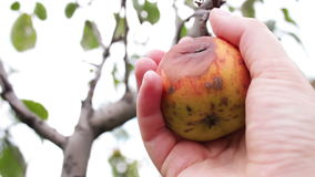 Rotten apple hanging on a branch stock footage