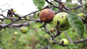 Rotten apple hanging on a branch. Rotten apple hanging on a tree branch and it was thwarted. Full HD 1920 x 1080, 25 fps stock footage