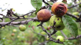 Rotten apple hanging on a branch stock video footage