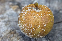 Rotten apple with mold. The apple tree (Malus domestica) is a deciduous tree in the rose family best known for its sweet, pomaceous fruit, the apple royalty free stock photo