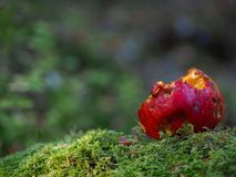Rotten apple in moss. A close up of a rotten red apple in green moss Royalty Free Stock Photography